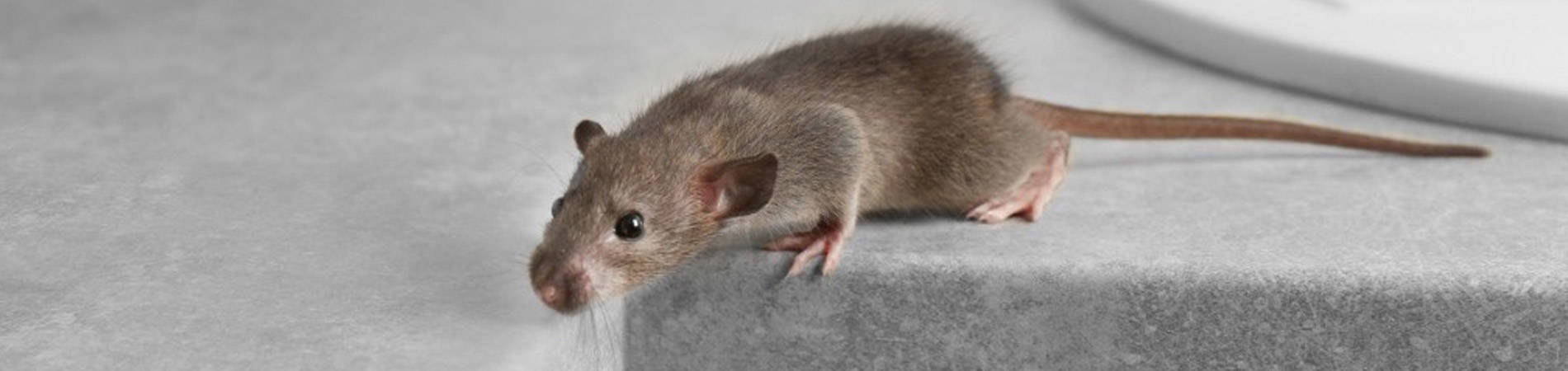 Rodents Facts And Control Al Mobidoon Pests Control Emirates