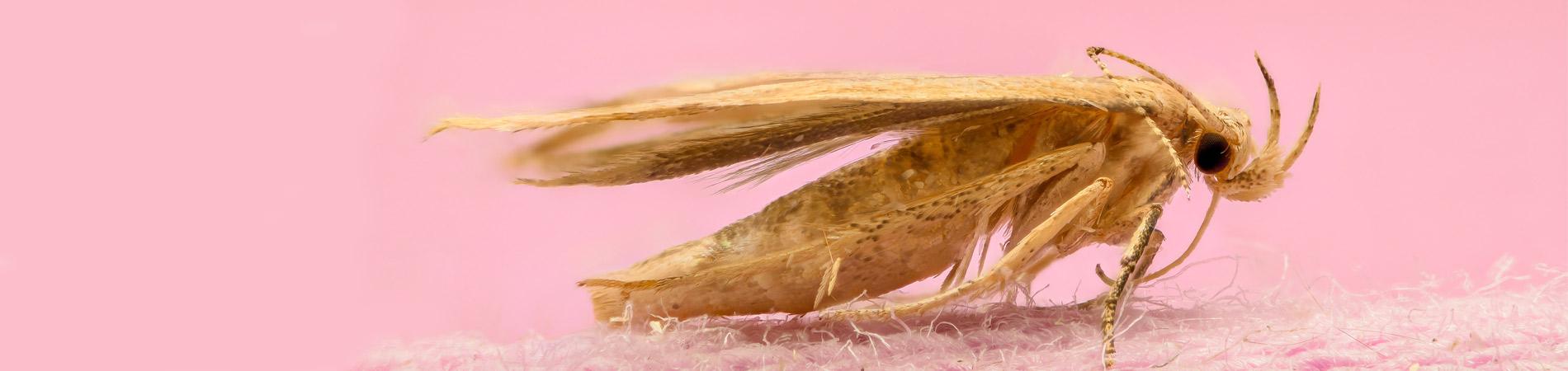 Similar Species Firebrat Fabric Amp Paper Pests Al